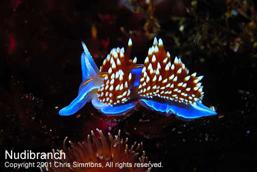 Nudibranch. http   www.kelpfish.net Sept2001 nudibranch.jpg ... 402927311060